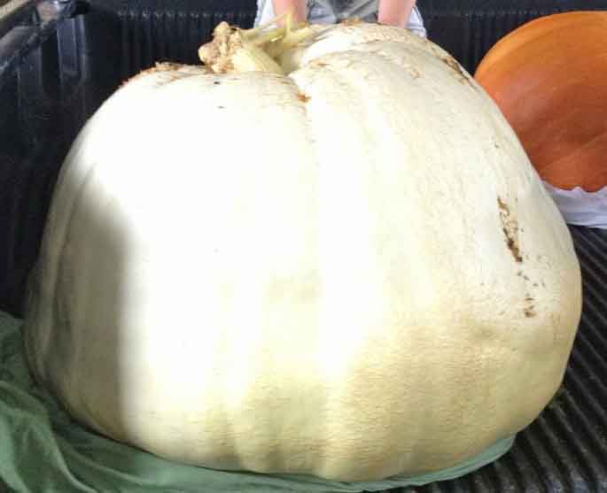 Jasper Utley, of Tift County, took home second place in the 2-12 Georgia 4-H Pumpkin Growing Contest with his 281-pound pumpkin.