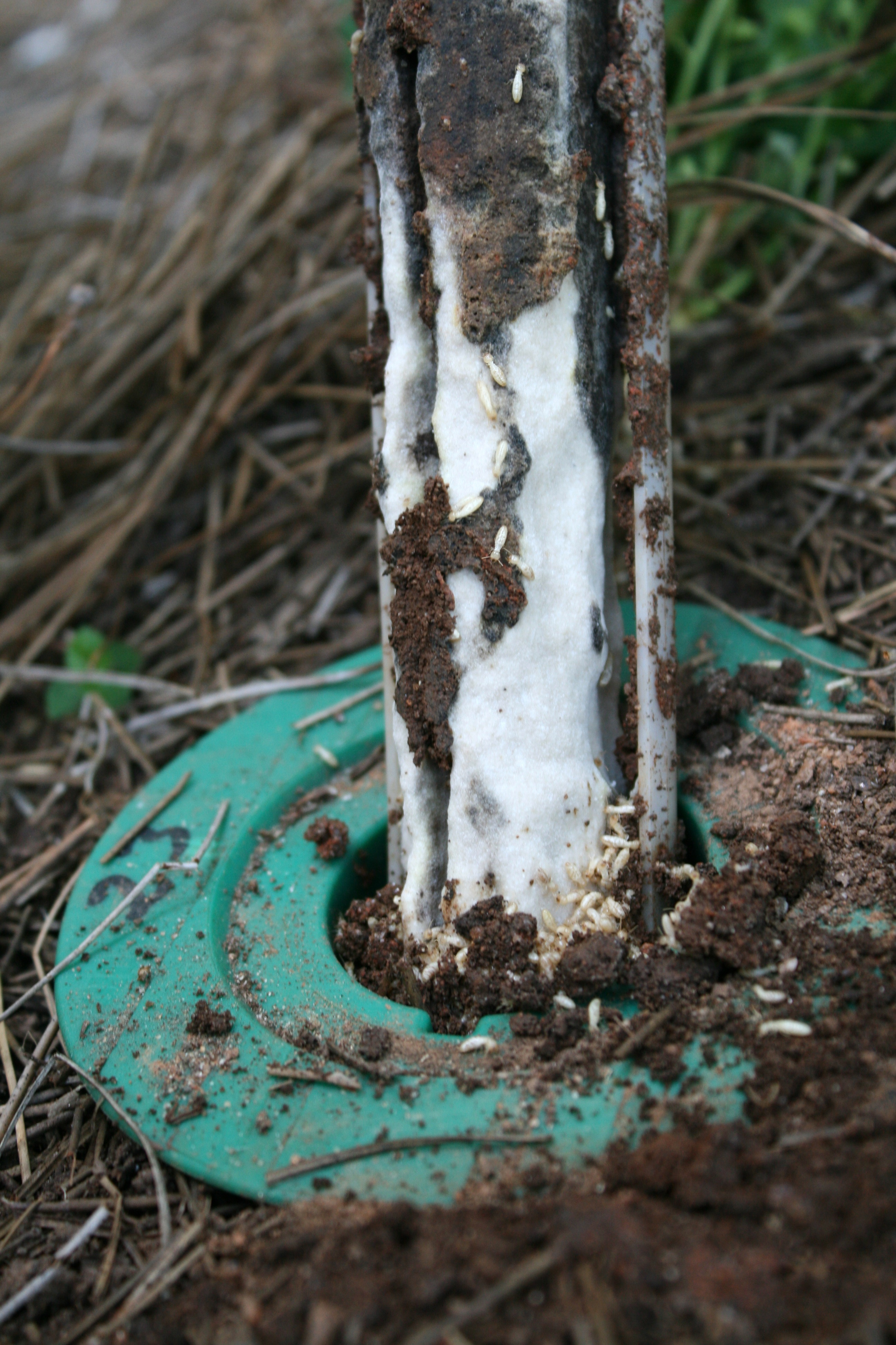 Termites feed on bait in a bait station