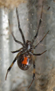 A brown widow spider will usually hide when it senses danger. In fact, a person is more likely to be hit by lightning than be bitten by a brown or black widow spider.