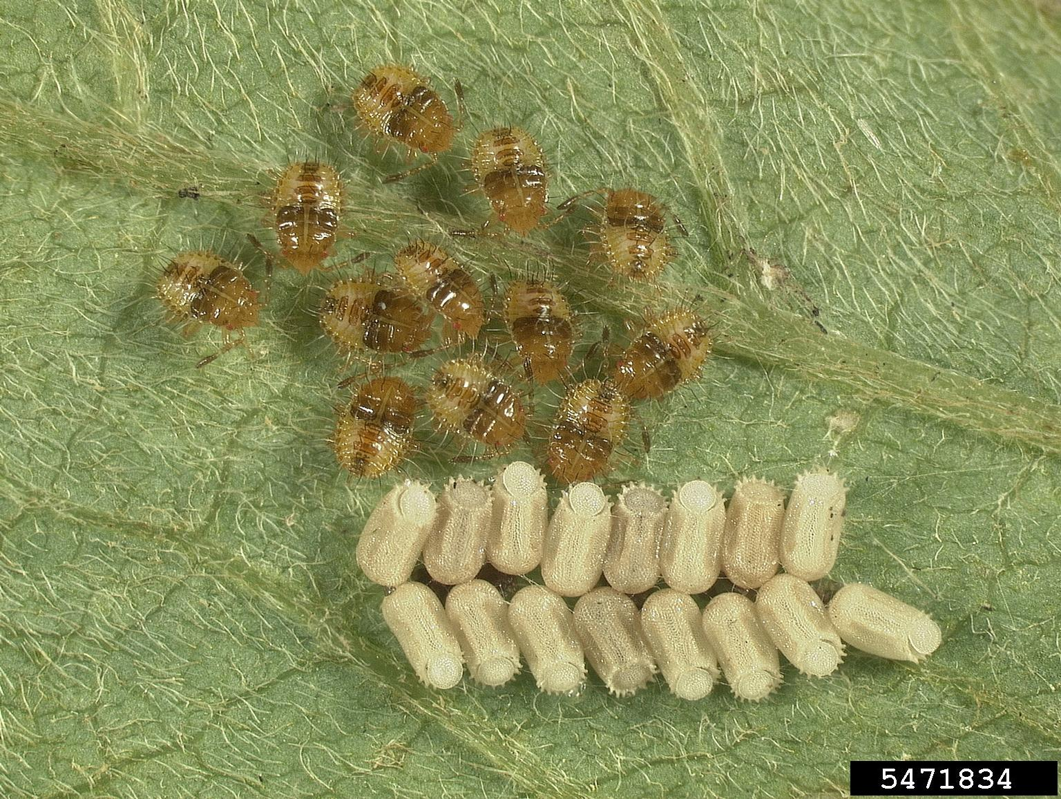 A University of Georgia scientist has used genetic tools to track the kudzu bug back to Japan. She also found all the bugs in the U.S. are maternally related.
