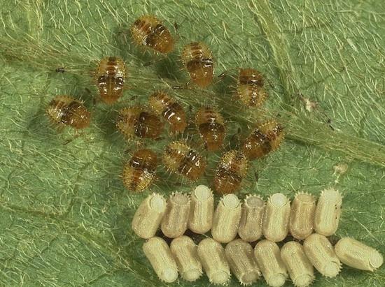 Kudzu bug nymphs