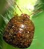 The kudzu bug, or bean plataspid, feeds on kudzu and soybeans.