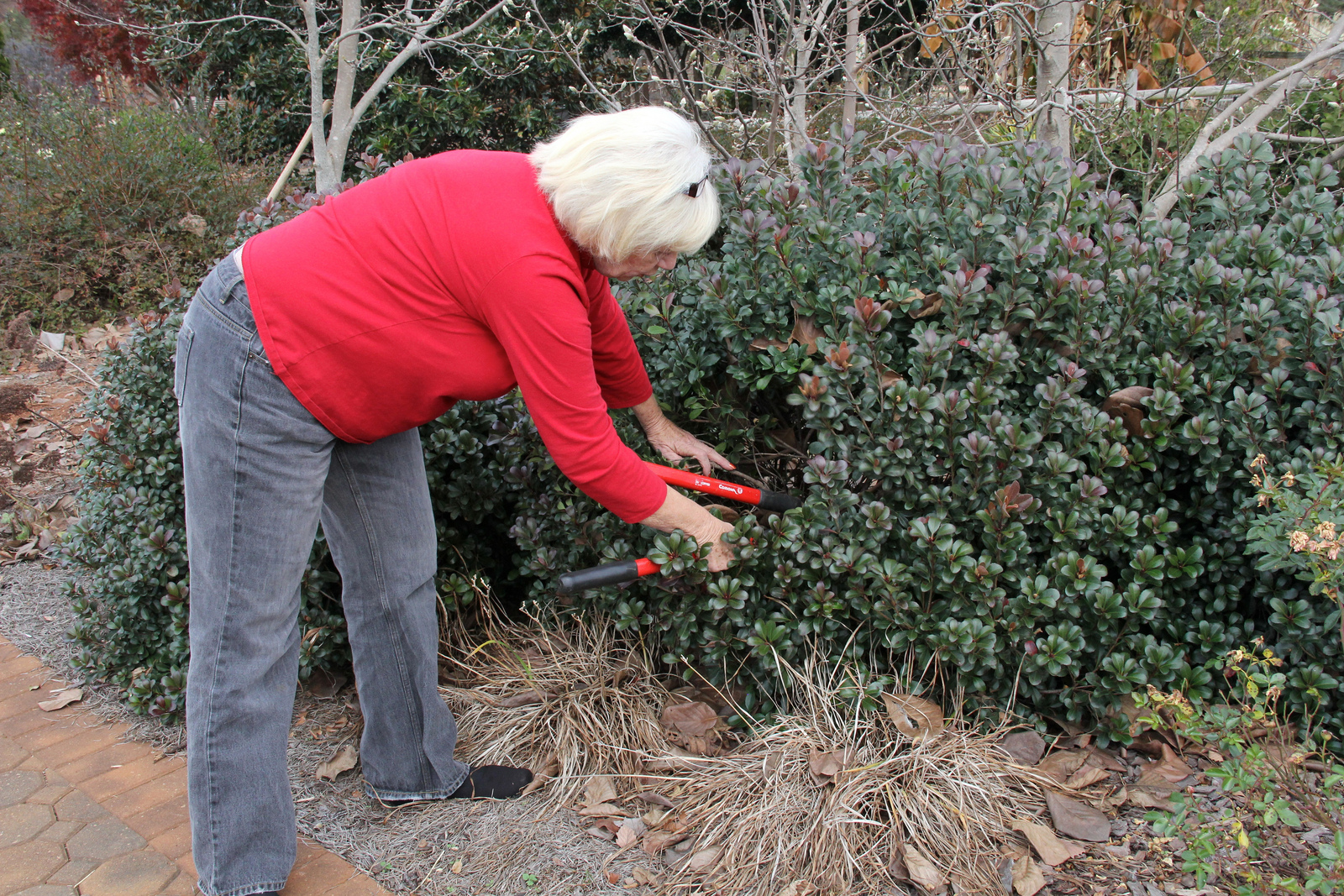 A Georgia Master Gardener trims a shrub in the University of Georgia Research and Education Garden in Griffin, Ga.