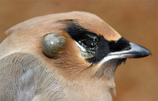 Bird tick