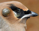 An engorged bird tick (Ixodes brunneus) attached to the side of a cedar waxwing's head paralyzes and ultimately kills the bird.