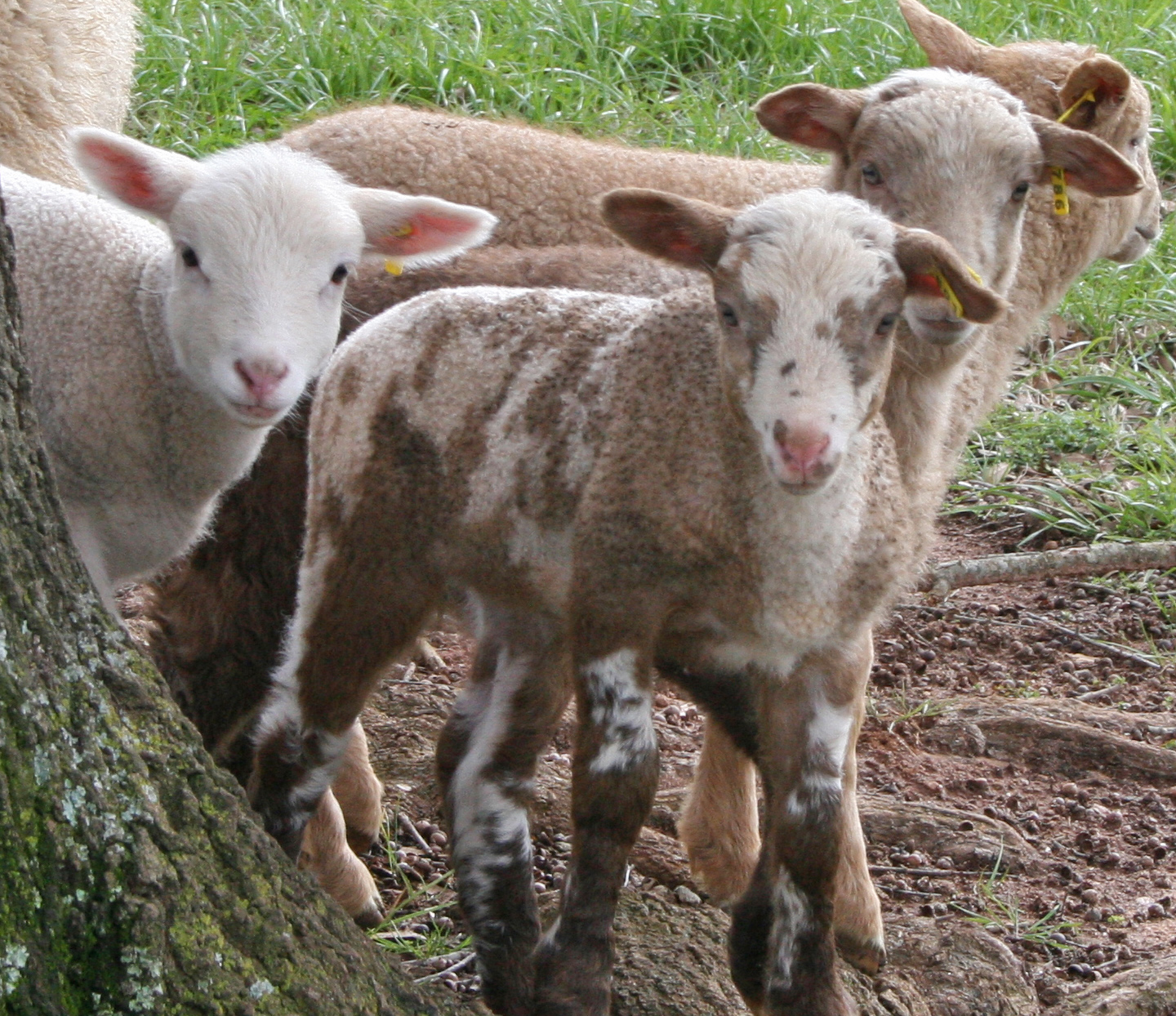 Madison County Sheep Farmer Jan Southers's Gulf Coast lambs play in her field.