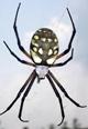 Spectacular golden garden spiders are among the good guys in your summer garden.