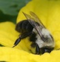 A bumble bee collects pollen from a tomatillo bloom in a Butts Co., Ga., garden.