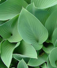 Hostas come in a host of varieties including 'Krossa Regal,' pictured here. This variety has frosty blue-green leaves and produces lavender flowers.