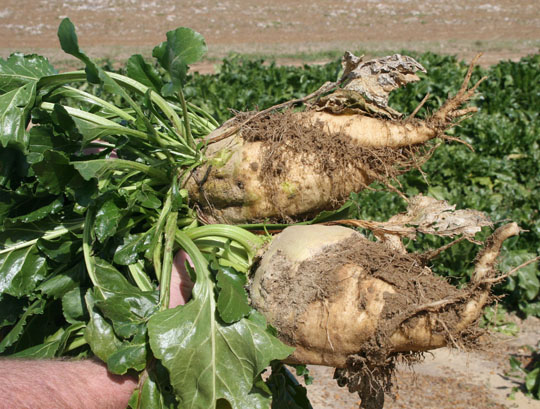 A pair of beets plants are shown on the Lang Farm in Tifton, Ga.