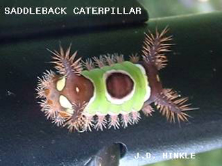 """The saddleback caterpillar's startling color scheme doesn't hide the fact that it bristles with spines. It has pairs of dark brown, spiny """"horns"""" on the front and rear ends. And in-between are small clumps of spines along the lower margin of the green area."""
