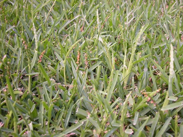 Turfgrass seedheads