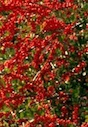 Ilex vomitoria, commonly known as Yaupon or Yaupon Holly, is a species of holly that is native to southeastern North America.