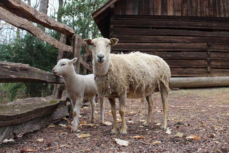 The new gulf coast sheep at the Atlanta History Center.