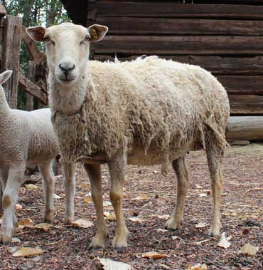 The new gulf coast sheep at the Atlanta History Center.