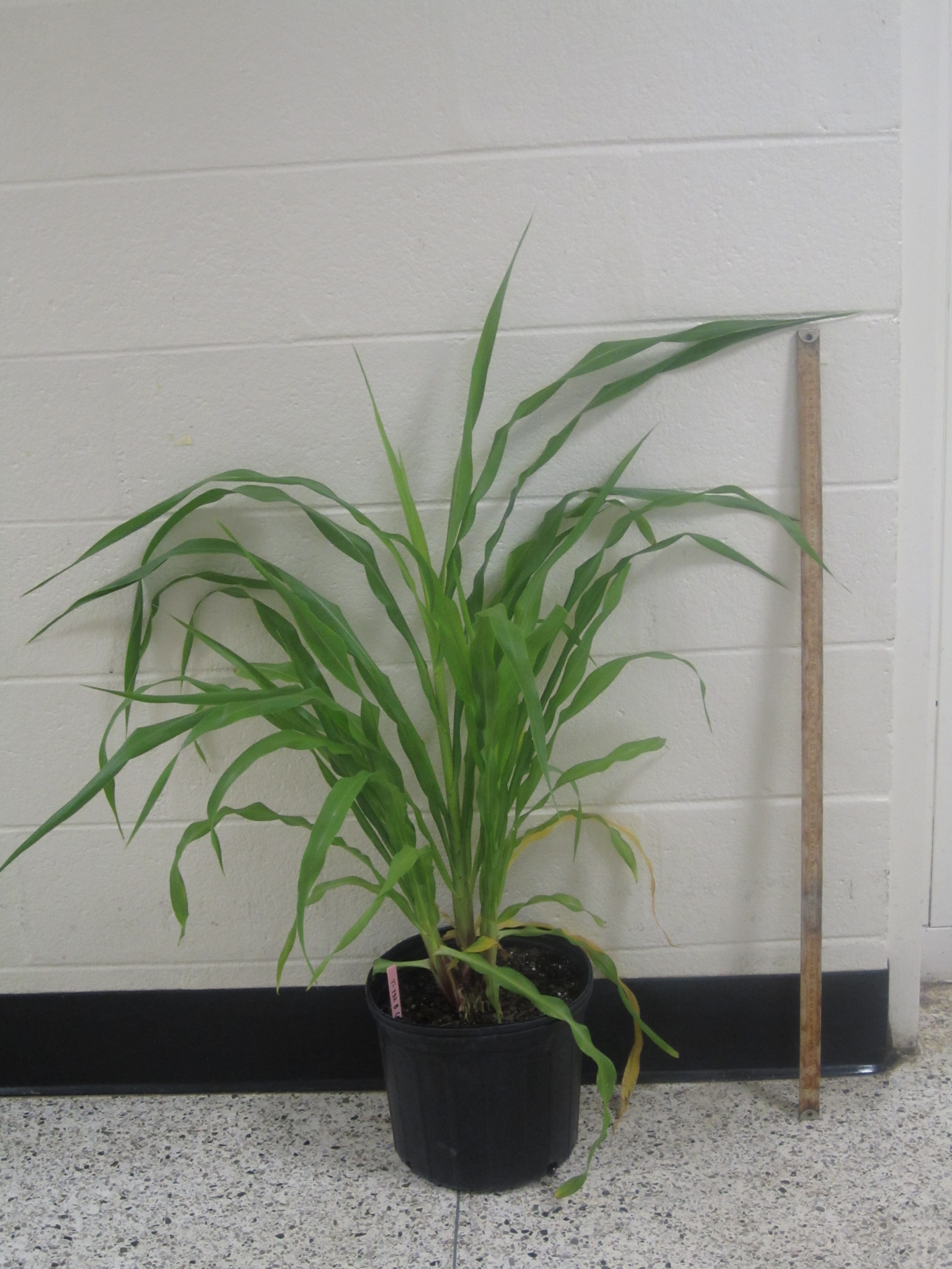 UGA researchers have identified the gene that contributes to the short stature of dwarf pearl millet.