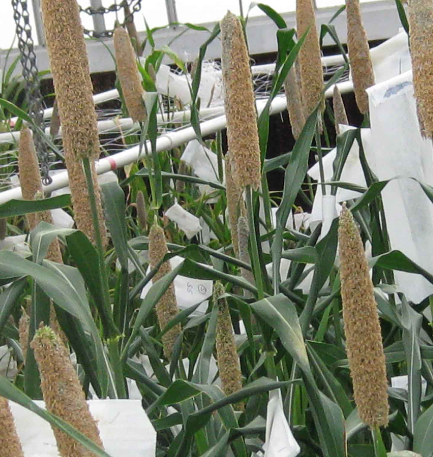 UGA geneticist Katrien Devos and her Ph.D. student Rajiv K. Parvathaneni identified the gene in dwarf pearl millet that leads to its short stature. It's the first gene identified with a specific trait in the drought-hardy grain.