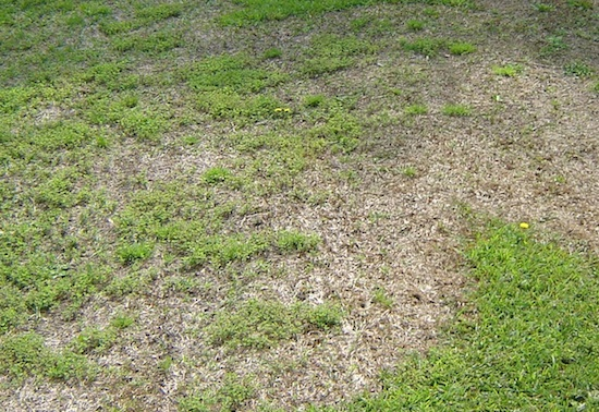 Be Patient And Wait For Centipedegrass To Green Up On Its Own Caes Newswire