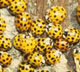More and more lady beetles are travelling indoors each winter to find shelter from the cold. And, more and more homeowners are calling University of Georgia experts for advice on how to get rid of these uninvited guests.