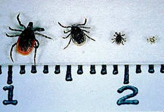 Lyme disease-infecting ticks (Ixodes scapularis) are among the smallest in Georgia. From left to right, on a centimeter scale: the adult female, adult male, nymph and larva.