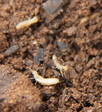 Termites feed on pieces of wood in garden soil.