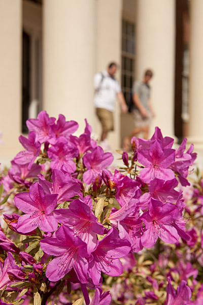 Azaleas bloom on the north campus of the University of Georgia in Athens, Ga.