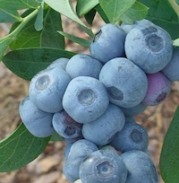 Titan, a newly released University of Georgia blueberry variety, produces much larger berries than traditional blueberry plants.