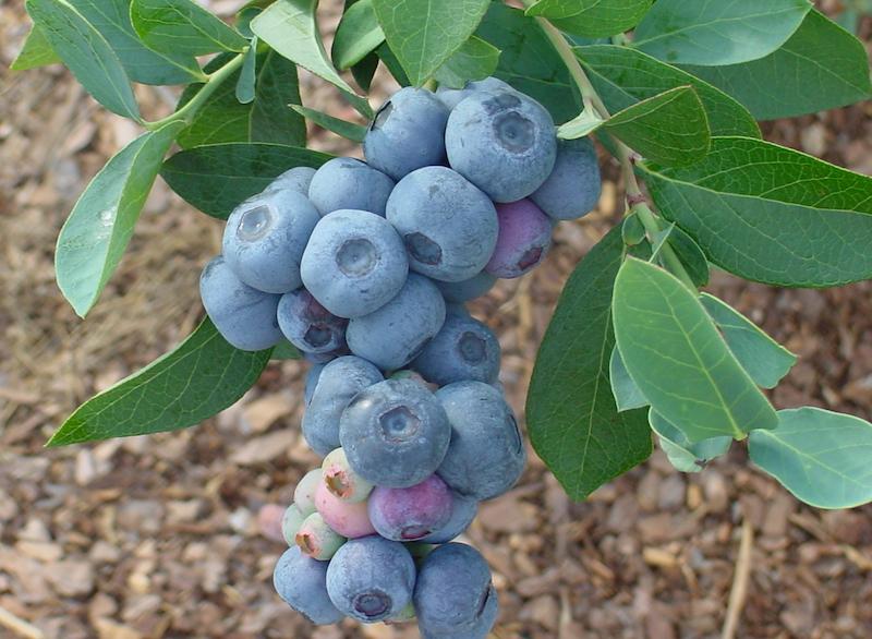 Titan berries