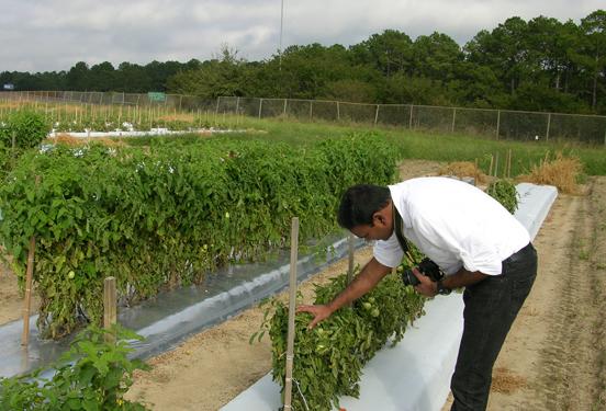 University of Georgia Entomologist Rajagopalbabu Srinivasan examines a tomato plant on a plot on the Tifton campus.