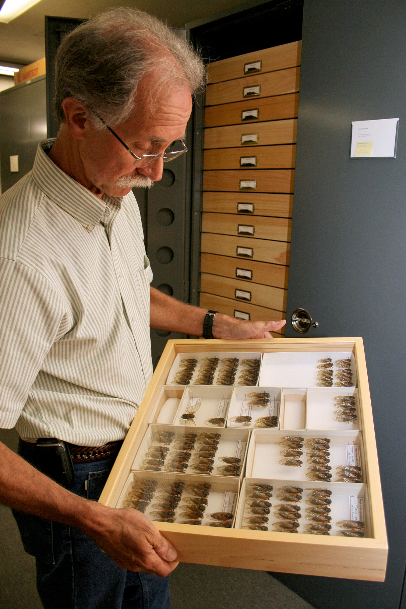 Rick Hoebeke, curator of arthropods at the Georgia Museum of Natural History, examines specimens from past periodical cicada emergences.