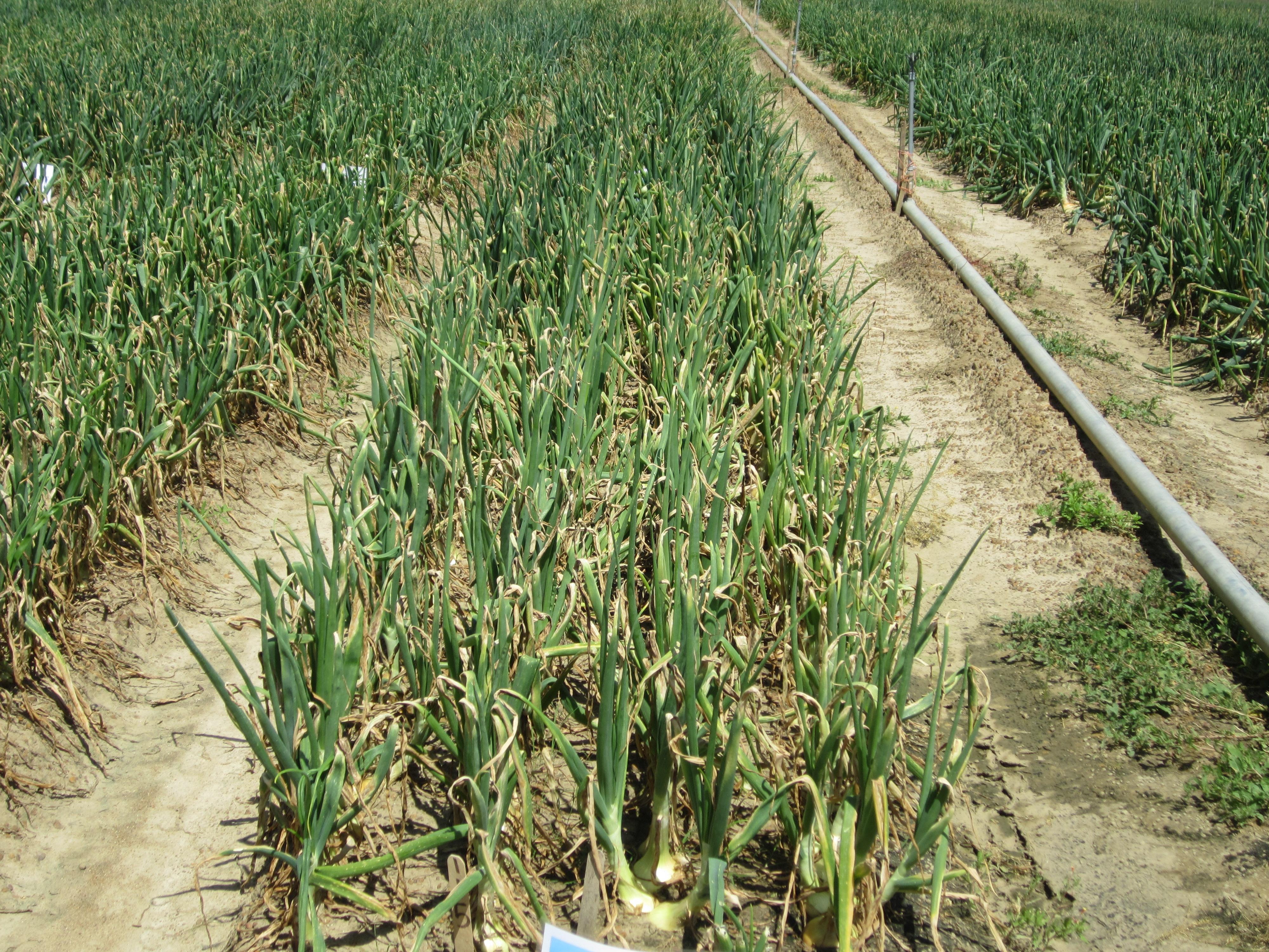 Vidalia onions grow in a field in Lyons, Ga.