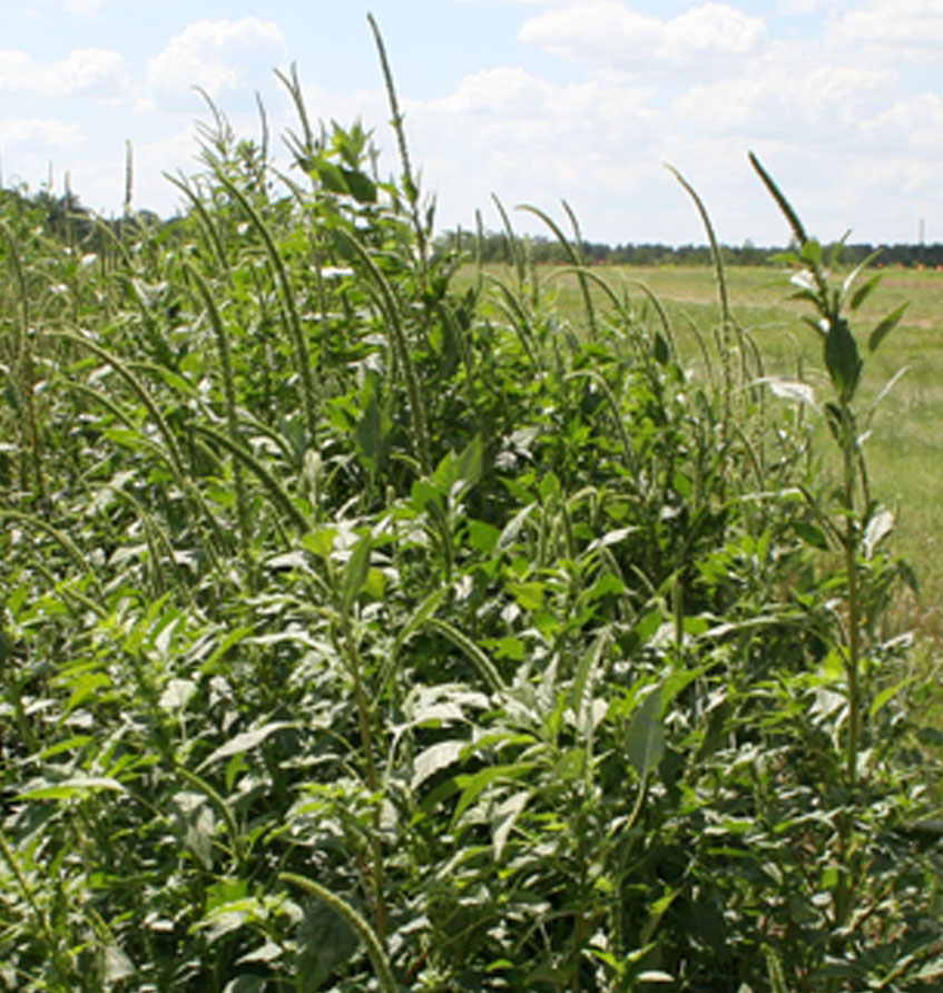 Palmer amaranth can reach heights of up to 7-10 feet. UGA Extension weed specialist Eric Prostko encourages farmers to continue to control Palmer amaranth even after their corn is harvested.
