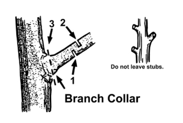 This diagram shows the locations and numbered sequence of cuts to remove a branch from a tree.