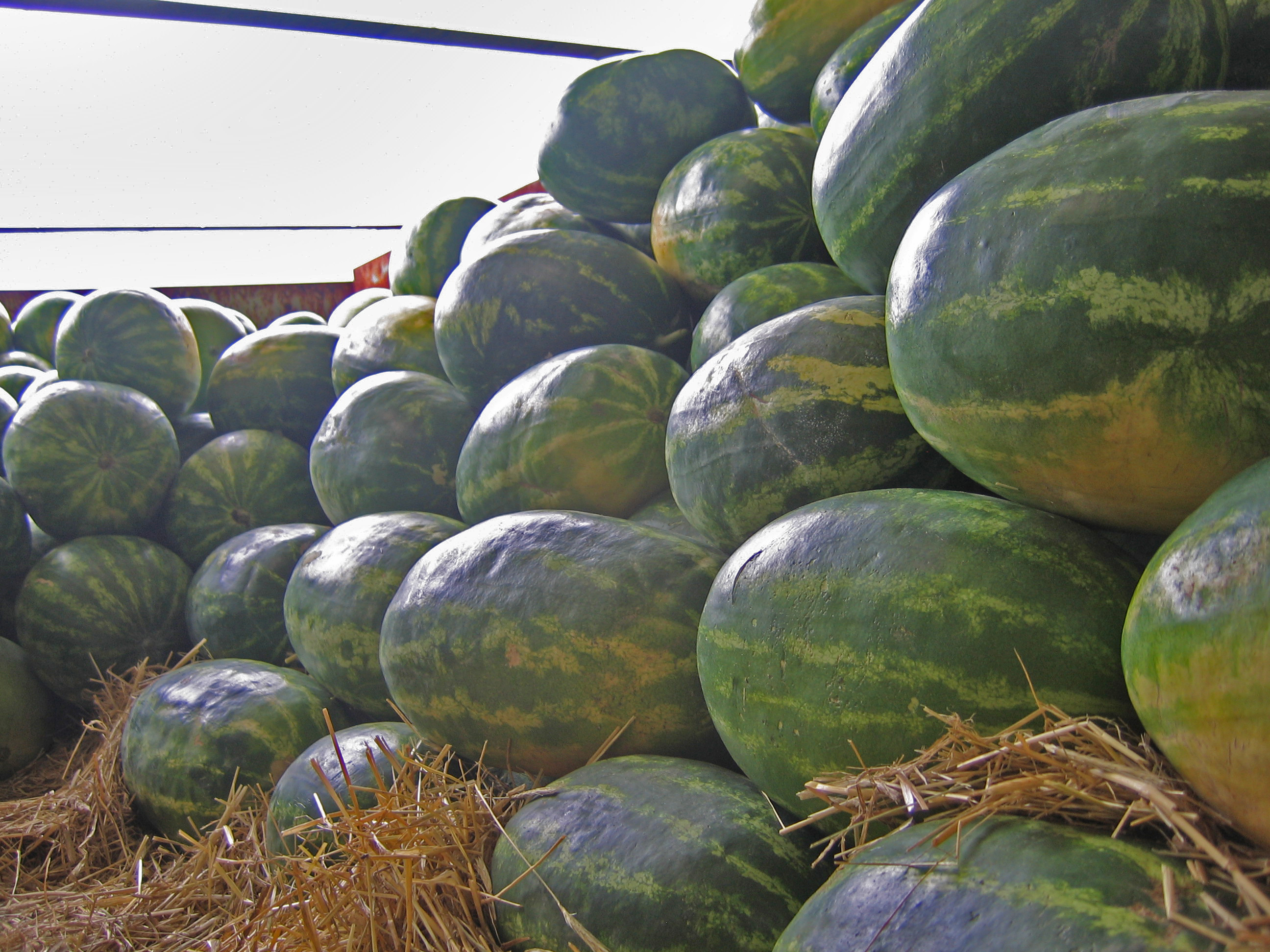 Georgia watermelons harvested for delivery.