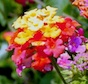 Lantana lace bugs are out this summer, munching on the popular plant and reducing its blooms in the process.