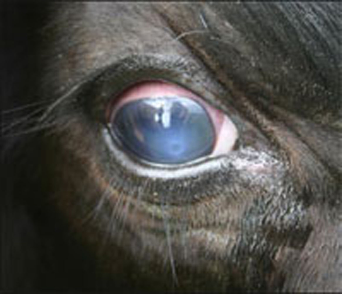Here is a look at pinkeye in cattle at stage one.