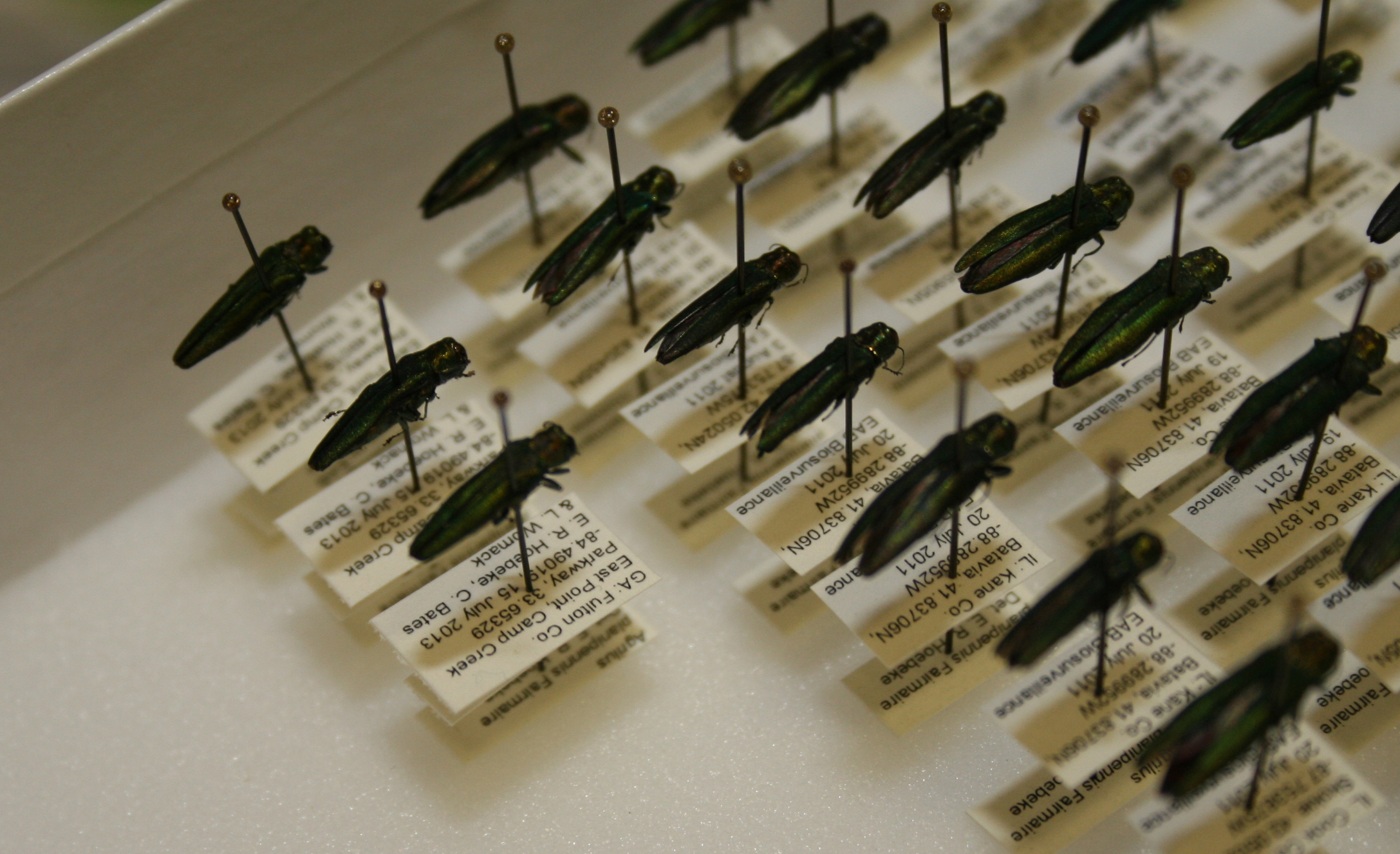 Close up of emerald ash borers in the Georgia Natural History Museum.