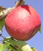 Pink Lady apples hang from a tree at the University of Georgia - Mountain Research and Education Center in Blairsville, Ga.