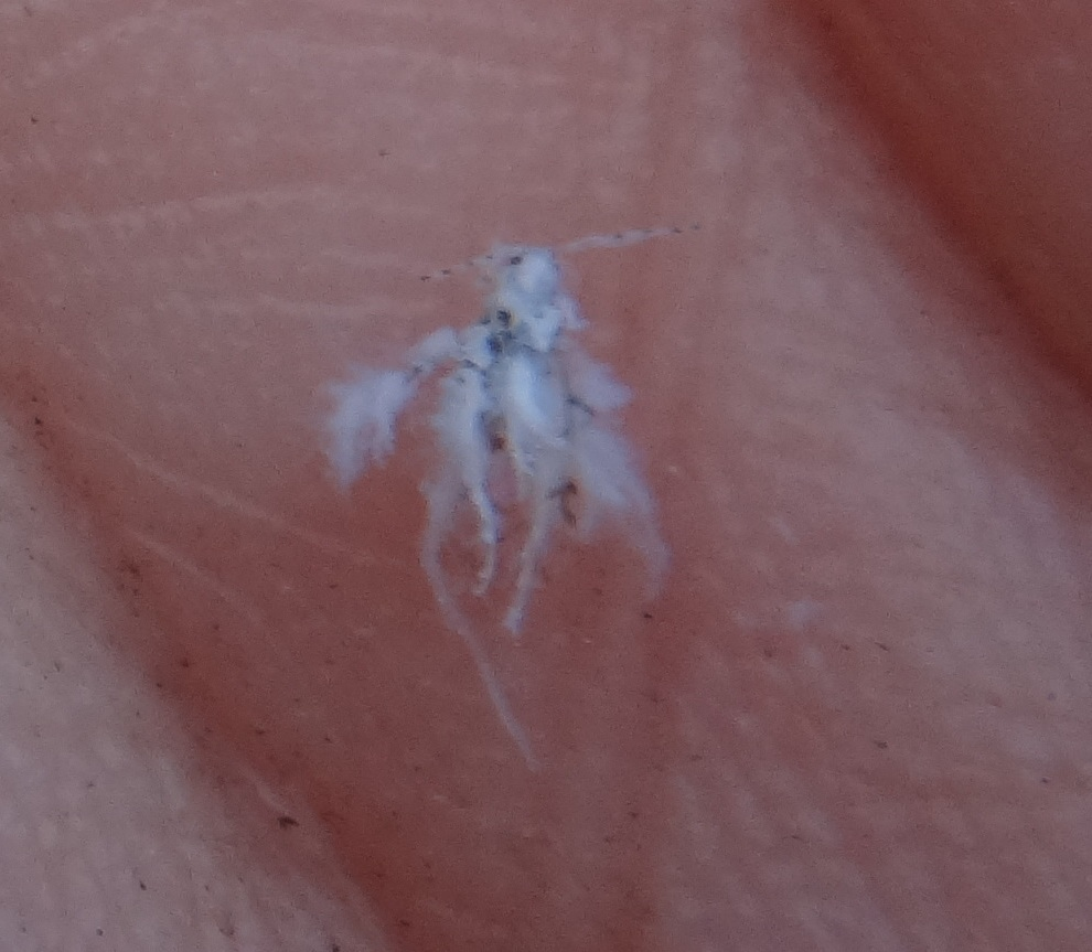 Woolly hackberry aphid