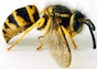 This wasp, Vespula maculifrons, is also known as the Eastern yellow jacket.  It is one of the most common wasps in the Eastern United States. Their most distinguishing feature is the yellow and black stripes on their abdomen, in a pattern that differs between the queen, adult males, and adult females. They build nests in the ground or in stumps and logs.