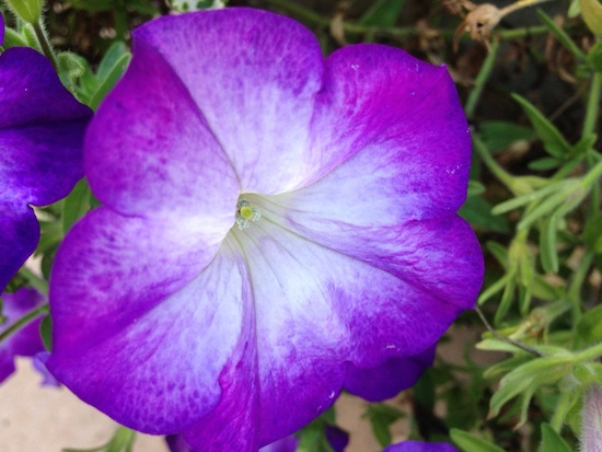 Petunias are heat tolerant annuals that require ample moisture and fertility to thrive. Several flower forms and colors are available, including fully double types. The single multiflora varieties are generally best for landscape use.