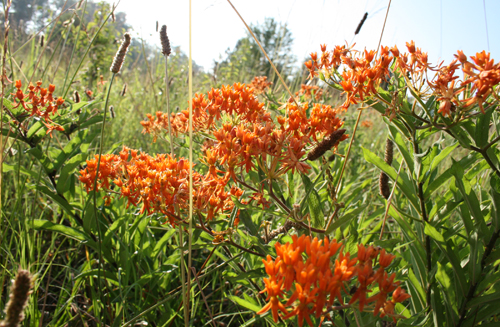 Butterfly Weed is a native herbaceous perennial that attracts butterflies like magnets with its florescent orange blooms.