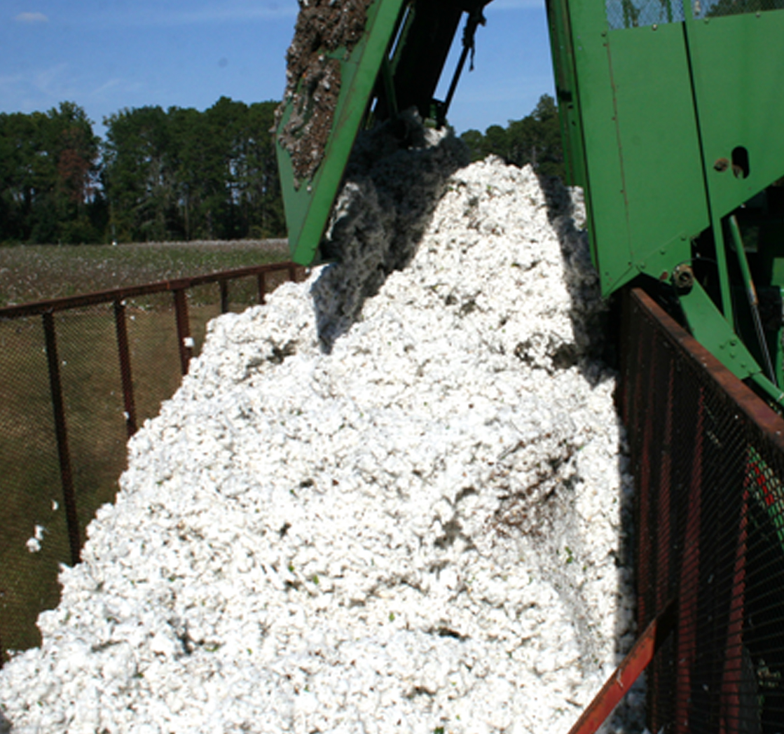 Cotton is dumped into a trailer at the Gibbs Farm in Tifton on Wednesday, Oct. 30, 2013.