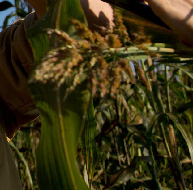 Andrew Paterson, director of the University of Georgia's Plant Genome Mapping Laboratory, has received a USAID grant to fund a international effort to develop the sustainable intensification of sorghum.