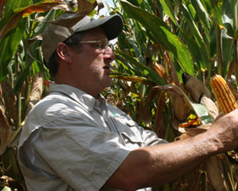 Glen Harris, a soils and fertility agronomist with the University of Georgia, examines corn on the UGA Tifton Campus.