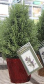 Rosemary plants are popping up in nurseries during the holidays among the mini-Christmas tree alternatives.