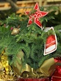 Live plants make beautiful additions to holiday decorations, but not all species can be planted outdoors after the holidays. University of Georgia Cooperative Extension experts say use if you live in north Georgia, select the giant arborvitae, Virginia pine, eastern redcedar and other junipers, or varieties of Arizona cypress such as 'Clemson Greenspire' and 'Carolina Sapphire.' Trees that will grow throughout the state include the Japanese cedar, deodar cedar, Atlas cedar and Hinoki false cypress. The Norfolk pine (pictured on the right) should not be planted outdoors in Georgia, as it is a tropical plant.