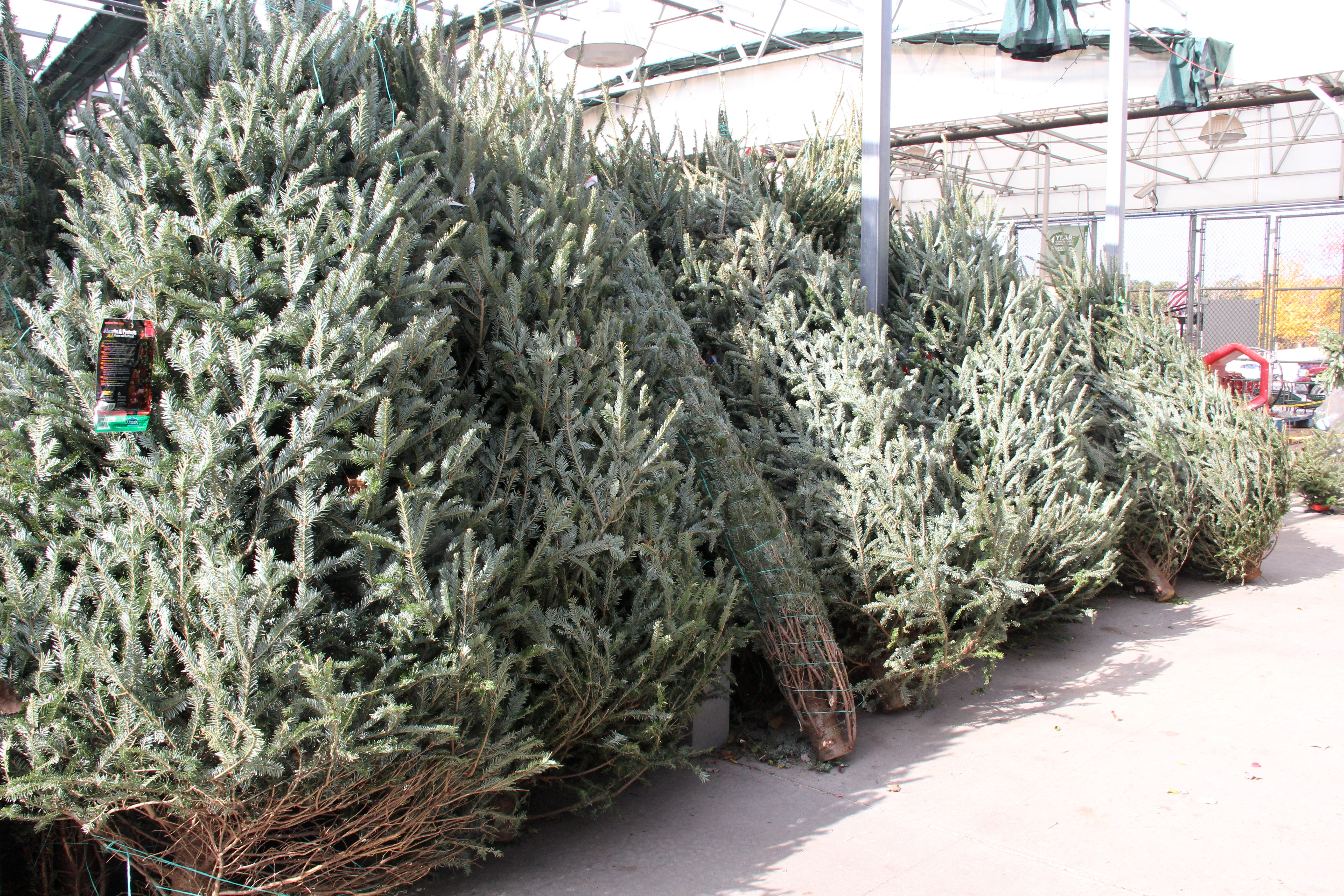 Freshly cut Christmas trees lined up for purchase at the Lowe's Home Improvement store in Griffin, Ga.