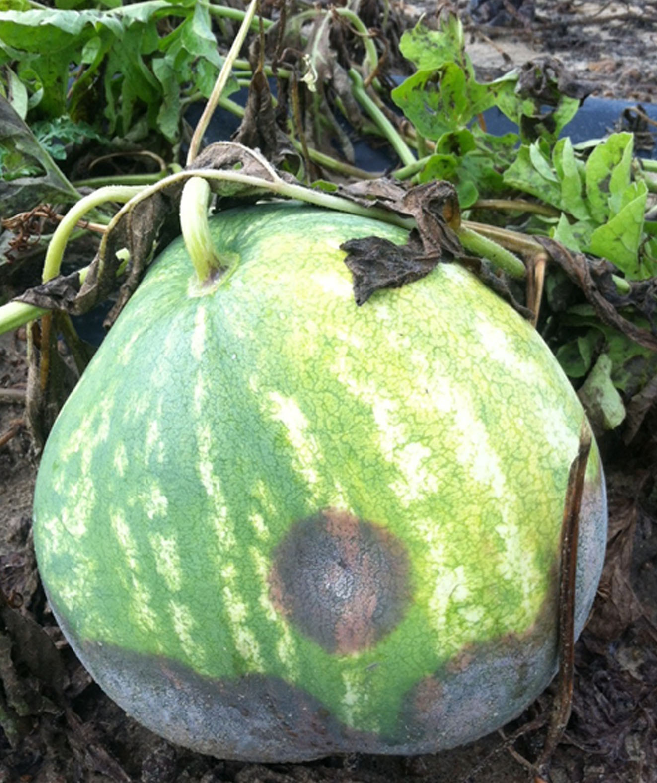Here is a picutre of Phytophthora fruit rot damage on a watermelon in Turner County.