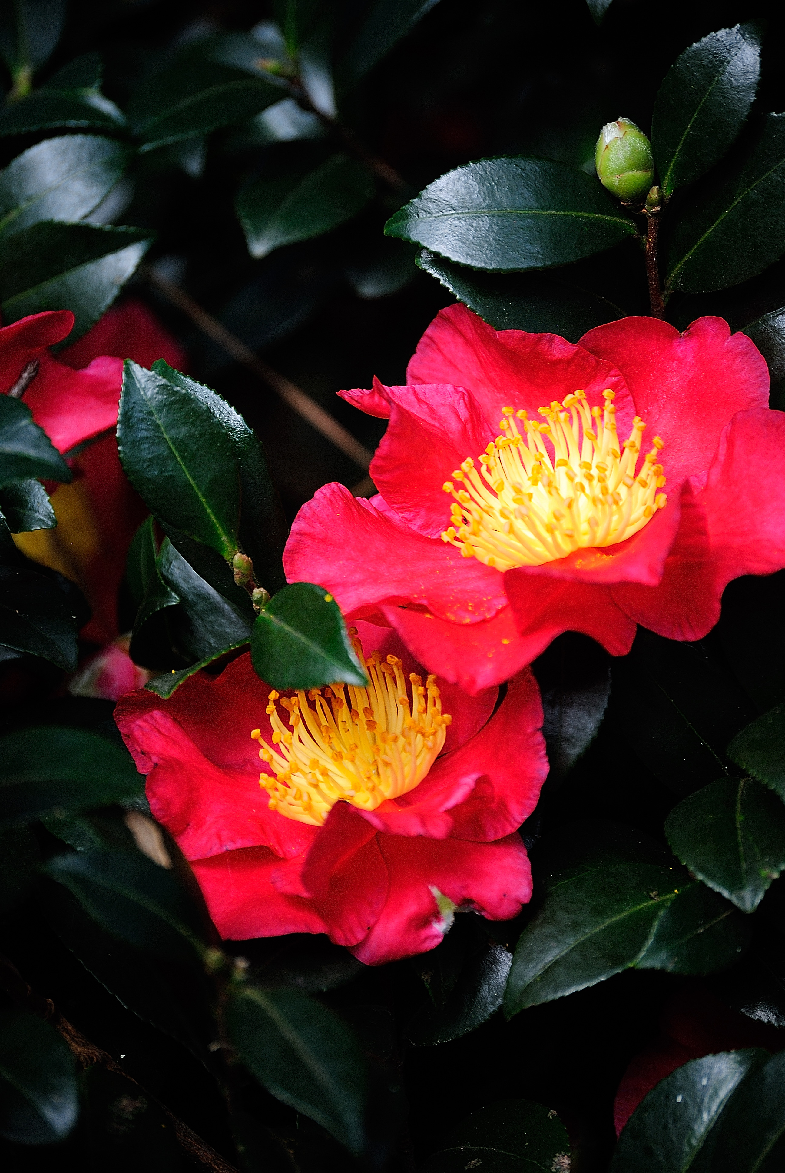 Yuletide Camellias bloomed early this year.
